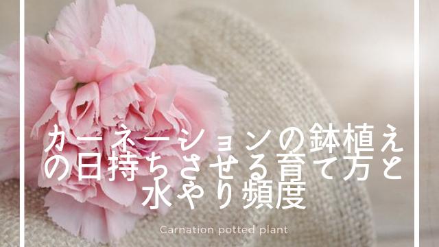 カーネーションの鉢植えの長持ちさせる育て方と水やり頻度